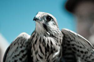 Cuccioli di falco