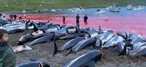 delfini faroe massacrati