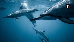 delfini faroe