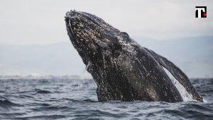 vomito di balena